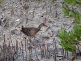Pollo del Manglar-4.jpg