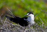 Sooty Tern-1.jpg