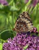 Great Spangled Fritillary Butterflies