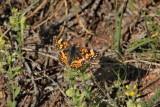 True Brush-Foots - Nymphalidae