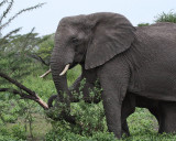 Elephant knocking down tree for bark