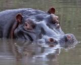 Hippo in waterhole
