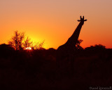 Giraffe in setting sun