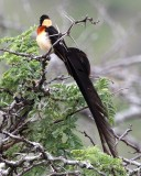 Broad-tailed whydah