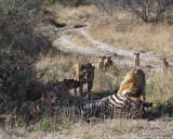 Lions scares cubs
