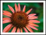 Echinacea--variety Sunrise