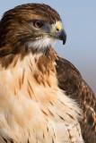 Redtail Hawk portrait