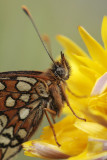 Heath fritillary - Bosparelmoervlinder