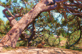 Torrey Pines dog & tree.JPG