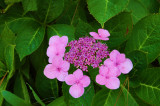 Torrey Pines purple flower.JPG
