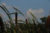 Cat Tails Arkansas.JPG