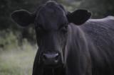 Cow Alabama.JPG