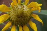 Sunflower Nashville, TN.JPG