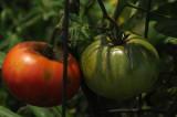 Tomatoes Nashville, TN.JPG