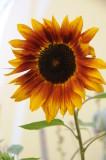Sunflower Winnona, MN.JPG