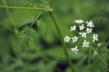 Anthriscus-sylvestris.jpg