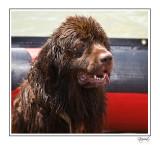 Saved by a Newfoundland Dog