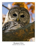 Barred Owl-006