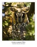 Long-eared Owl-004