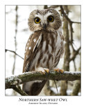 Northern Saw-whet Owl-018