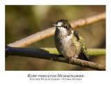 Ruby-throated Hummingbird-009