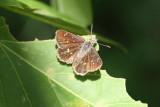 Four-spotted Skipperling (Piruna polingii)