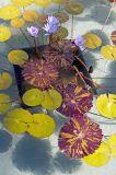 Water Lilies, Herb Garden Pond
