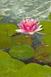 Flower and Lily Pads, East Garden