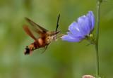 Hummingbird Moth 8028