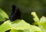 Red-spotted Purple 8040