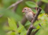 Field Sparrow 7763
