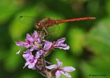 20080819 D300 098 Dragonfly - Meadowhawk(male).jpg