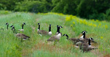 Gathering of Geese