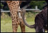 How do you make a Giraffe Jump?