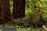 Redwoods & Forest Floor