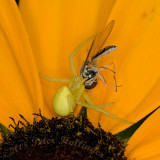 Crab Spider Catches Hover Fly on Rudbeckia