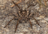 Wolf Spider on Stone Wall