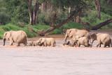 Elephants crossing fast river
