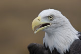 Raptors-Hawks,Kites,Falcons,Eagles,   Ospreys,Vultures,Condors,Caracaras