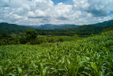 Corn Fields, Bonete, Honduras