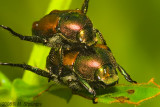 Bug's Ballet - Japanese Beetle - Popillia japonica