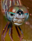 Face of Many Faces (Variable Darner)