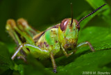 Pick-a-Boo (Two-striped Grasshopper)