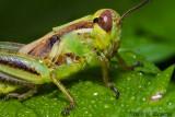 Two-striped grasshopper - Melanoplus bivittatus