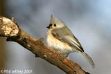 Chickadees, Kinglets, Wrens