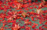 Red petals of summer...