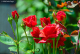 Wild rose in my garden