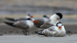 Skimmers at Rest