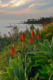 Laguna Beach Succulents