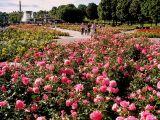 Norwegian Roses